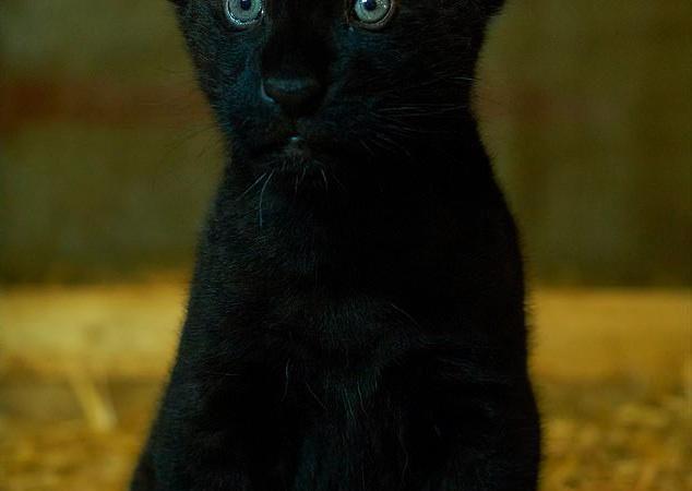 就像黑貓貓!美洲豹媽生下罕見「純黑小豹妹」 網一看豹爸秒戀愛:也太帥♡