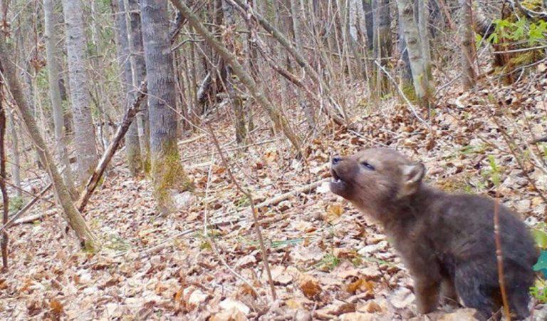 狼生第一嚎!小狼站穩腳步「森林開嗓」 網萌翻:是不是在討奶喝~