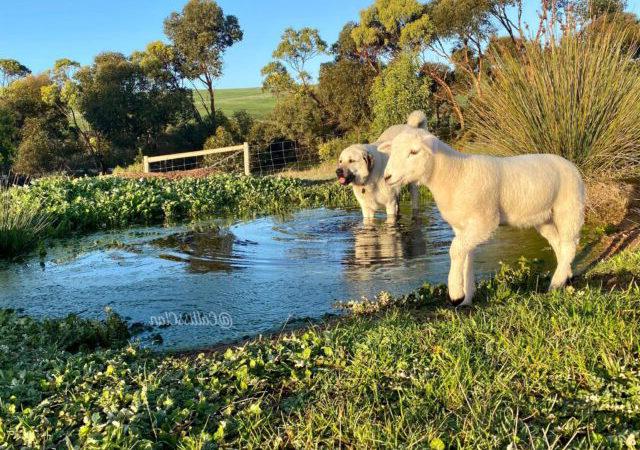 水好像很深!小綿羊不敢過河求助 牧羊犬姊姊溫柔指引:發摟密!